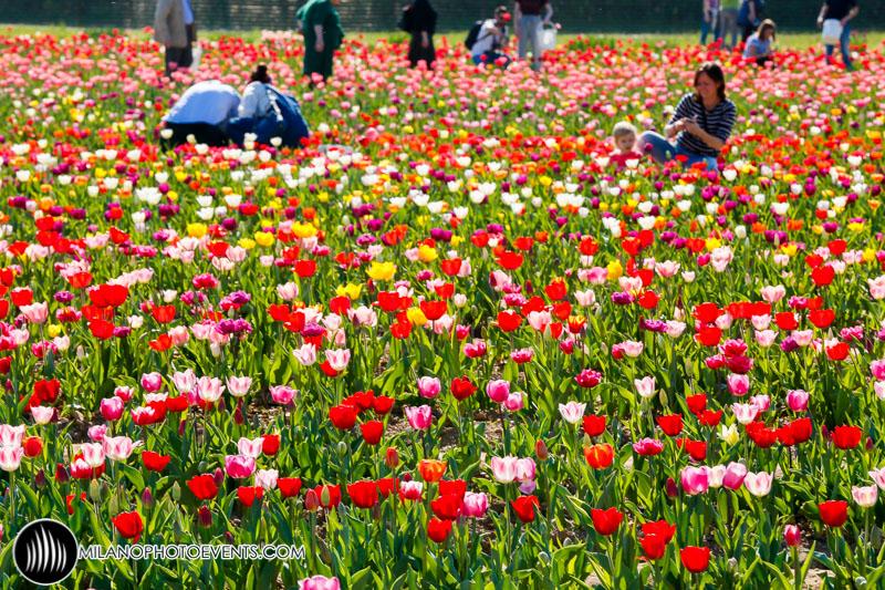 un mare di Tulipani invade Milano!